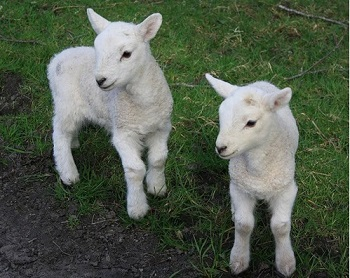 LAMBING SPECIAL OFFERS